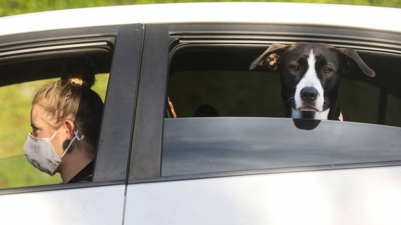 Pet owner sitting in the driver seat with mask on while dig sits in the back seat and sticking his head out of the window.