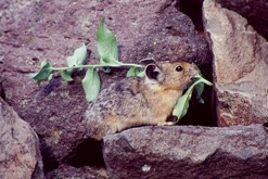 American pika. Photo by Chris Ray.