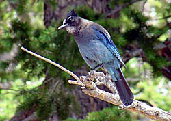 Stellar's Jay,  Photo: National Park Service