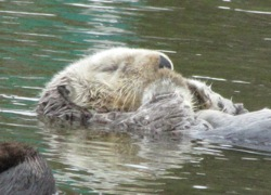 A snoozing sea otter at Moss Landing. Photo: Craig Miller