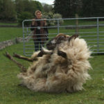 Shearing Away Deception in the Green Isles: Finding Family Truth on a Sheep Farm
